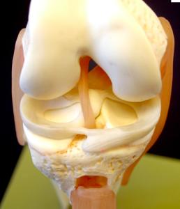 Knee Model image