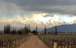A vineyard near the musculoskeletal conference in Mendoza, Argentina.
