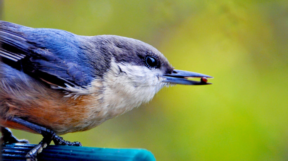 birds naturally employ intermittent fasting